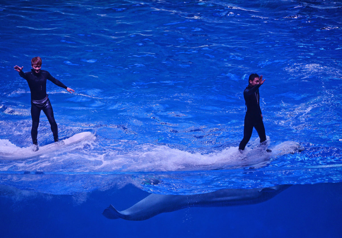 Trainers ride beluga whales during a performance at Chimelong Ocean Kingdom, one of the world's largest ocean theme parks. Photo by Mark Ralston/AFP/Getty Images