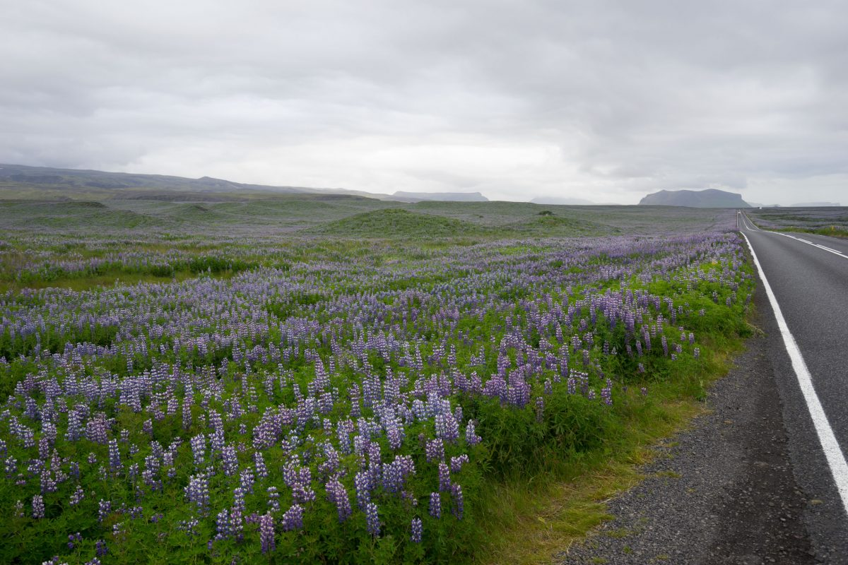 road passing a huge field of Alaskan lupine in Iceland