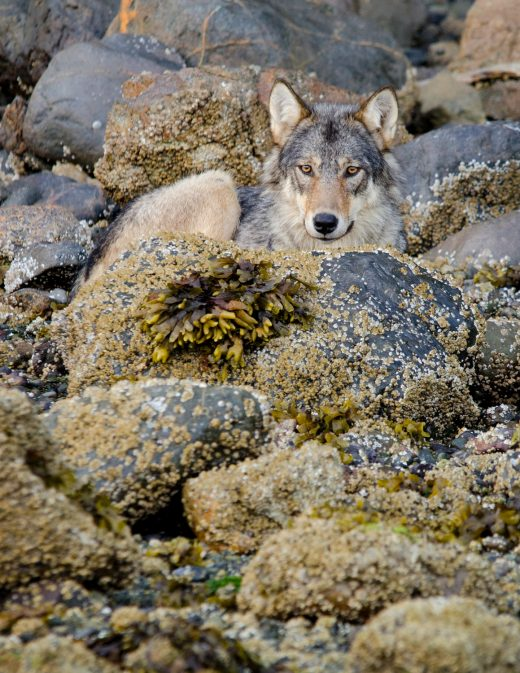 A female gray wolf waits and watches on a rocky beach on Vancouver Island. Communities now need a strategy for peaceful coexistence with the many wolves in their midst. Photo by Bertie Gregory/Minden Pictures