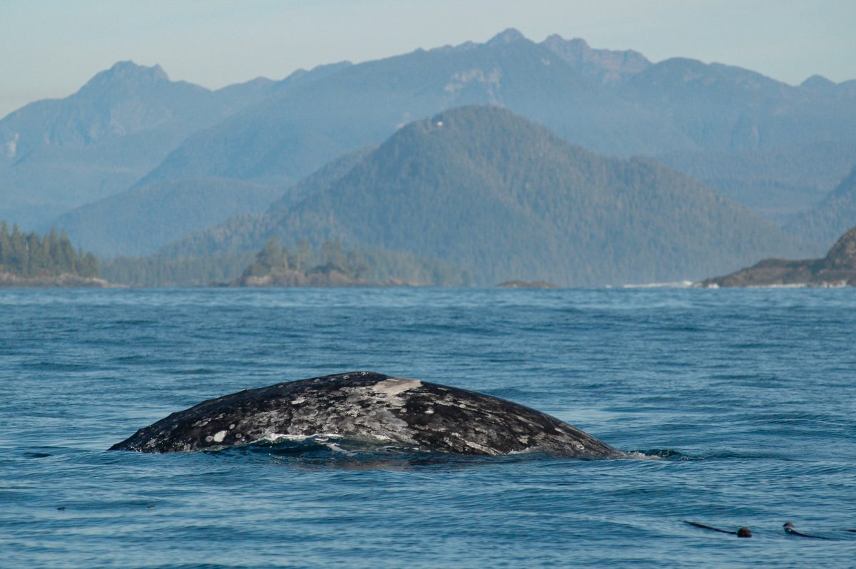 gray whale named saddle