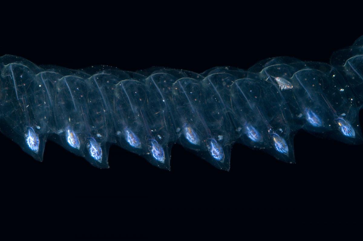 (Thalia democratica) salp chain