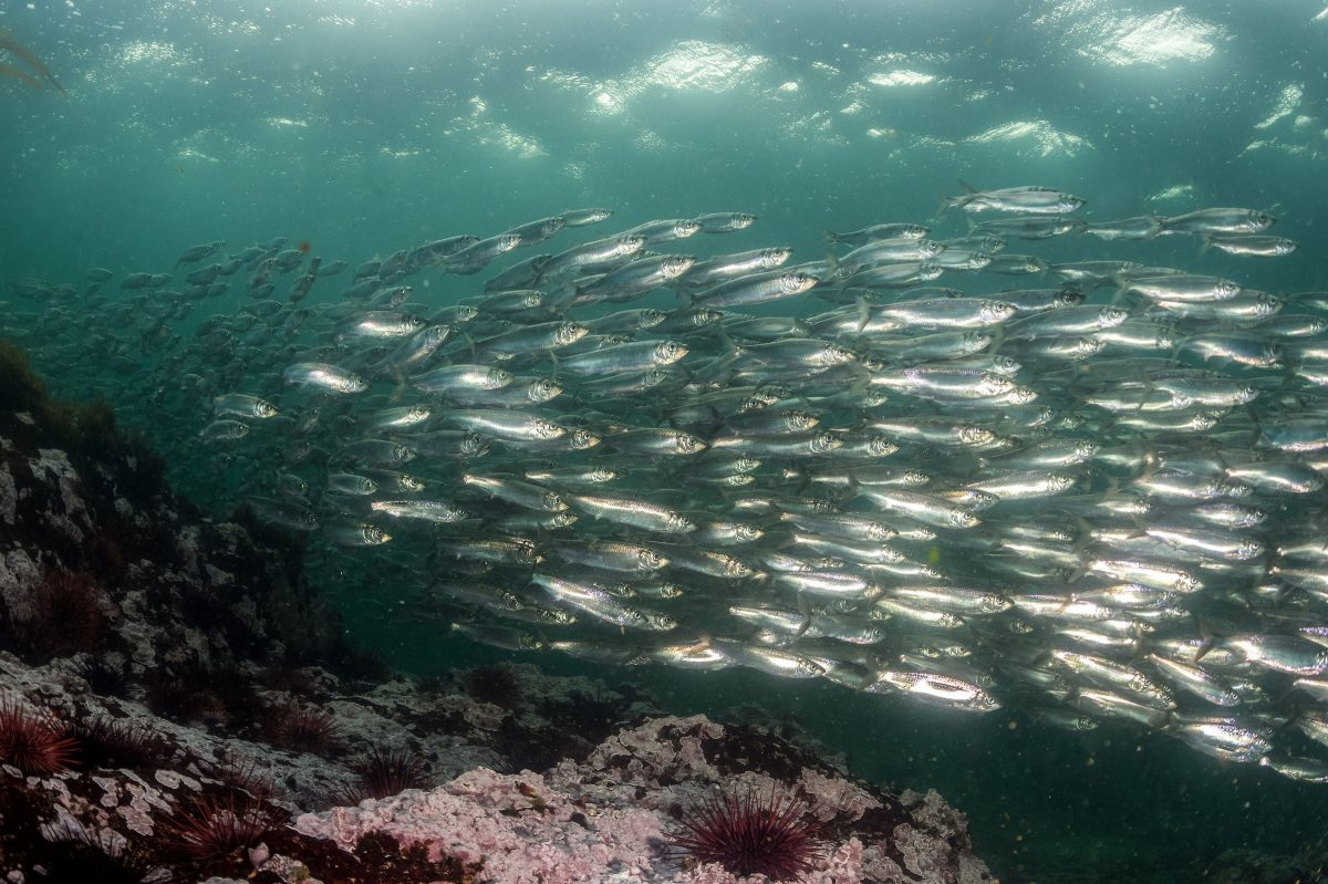 school of Pacific herring in British Columbia