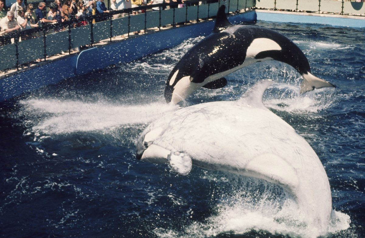 Chimo, a white transient killer whale, and Haida, a southern resident killer whale, were housed at Victoria, British Columbia's Sealand of the Pacific in the early 1970s