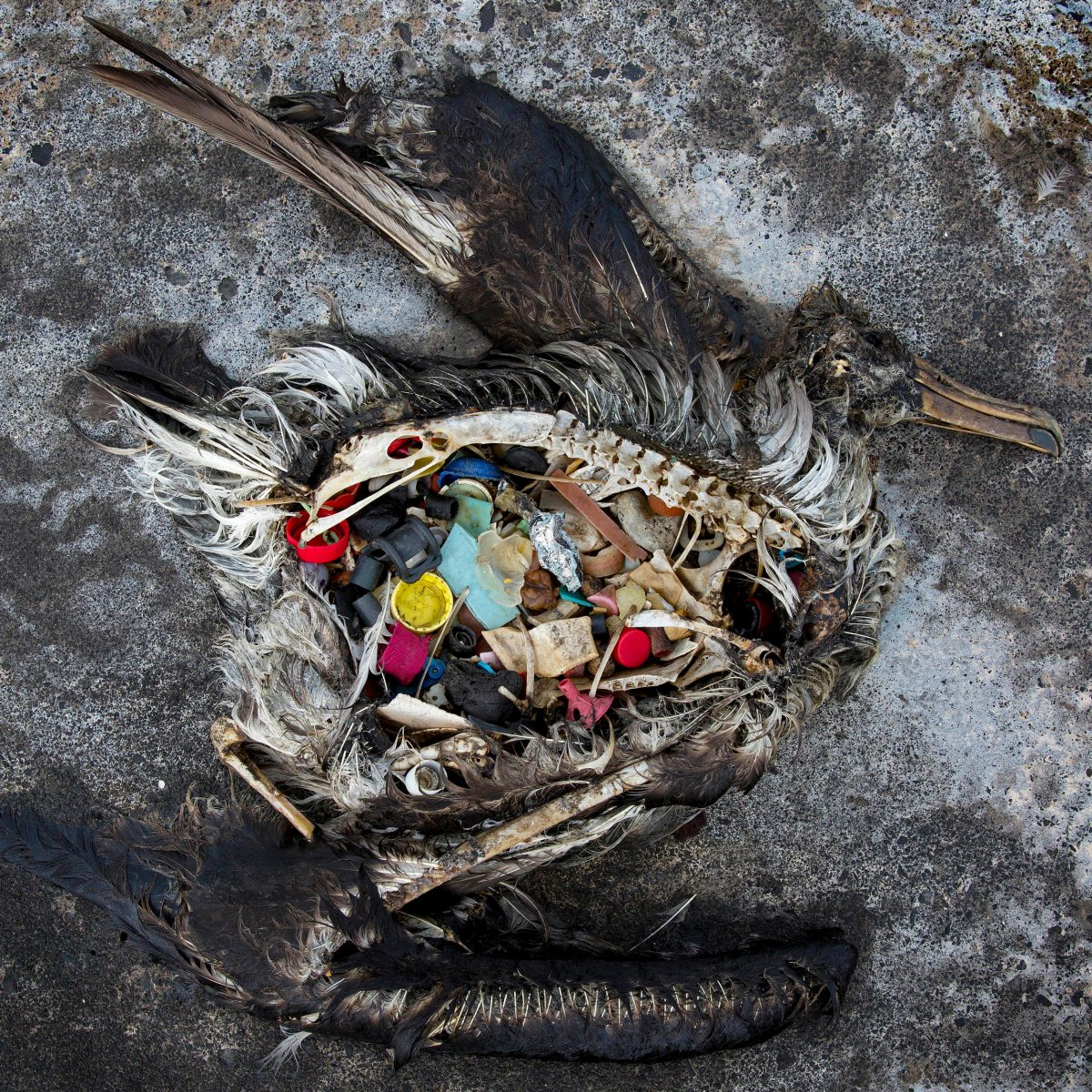 A dead black-footed albatross chick with plastics in its stomach