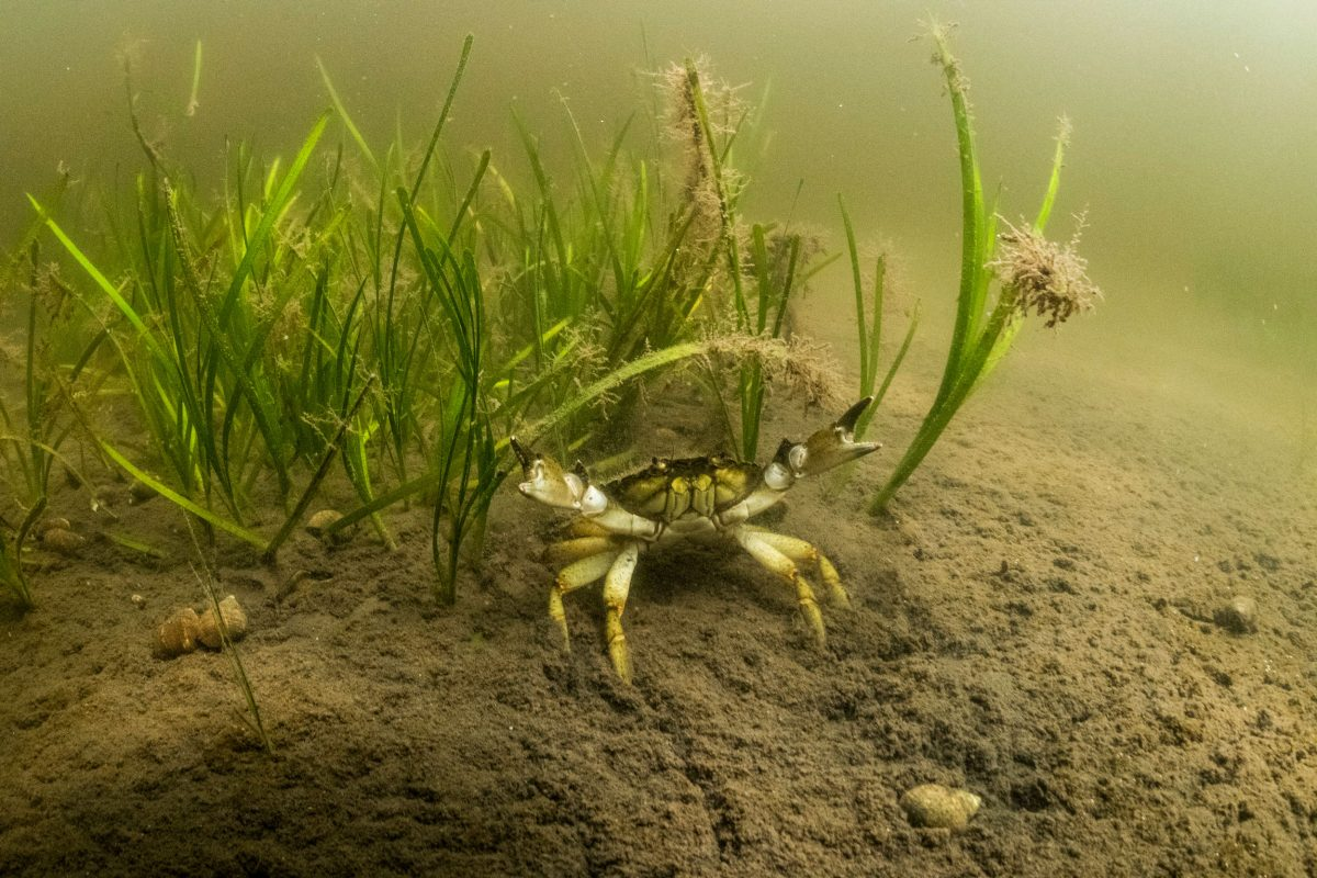 green crab and seagrass