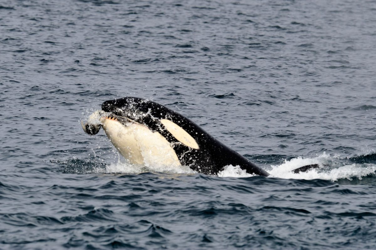 A transient killer whale snags a harbor seal in Johnstone Strait, Vancouver Island