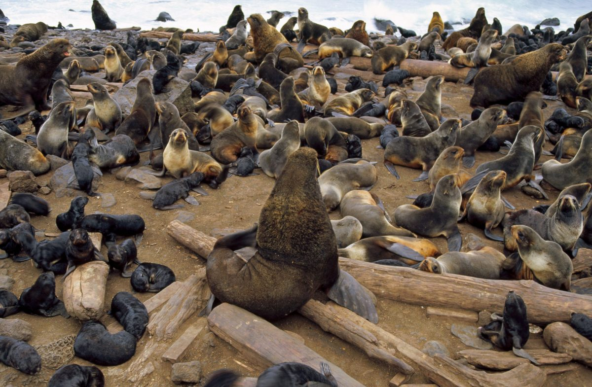 Northern fur seals, Saint Paul Island, Alaska