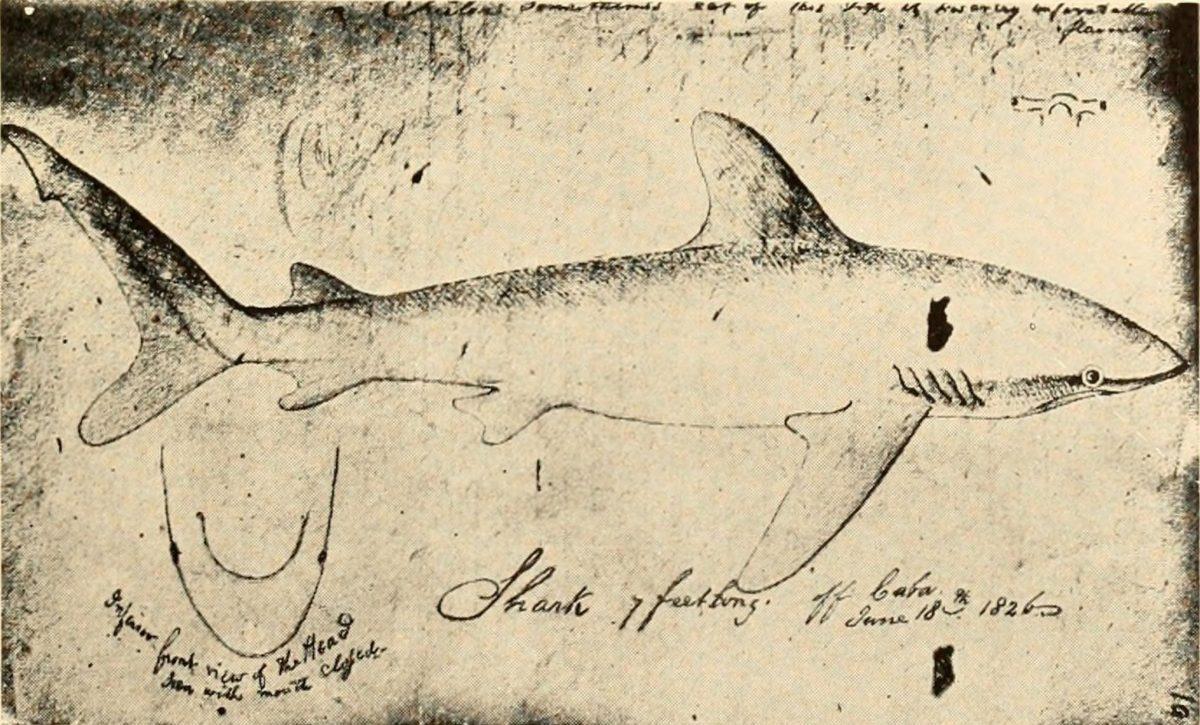 shark sketch by John James Audubon