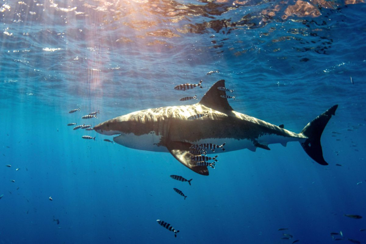 A white shark with pilot fish swims under warm sunbeams