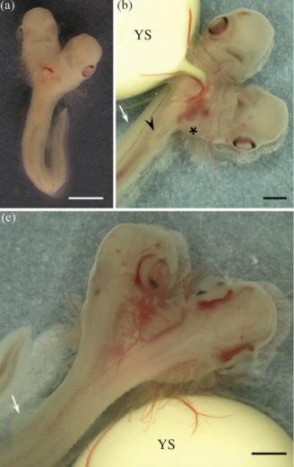 The two-headed shark embryo alongside its yolk sack. Photo by Sans-Coma et al.
