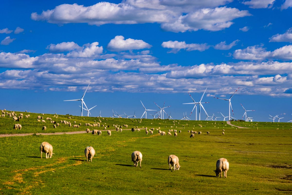 sheep in front of wind turbines, Germany