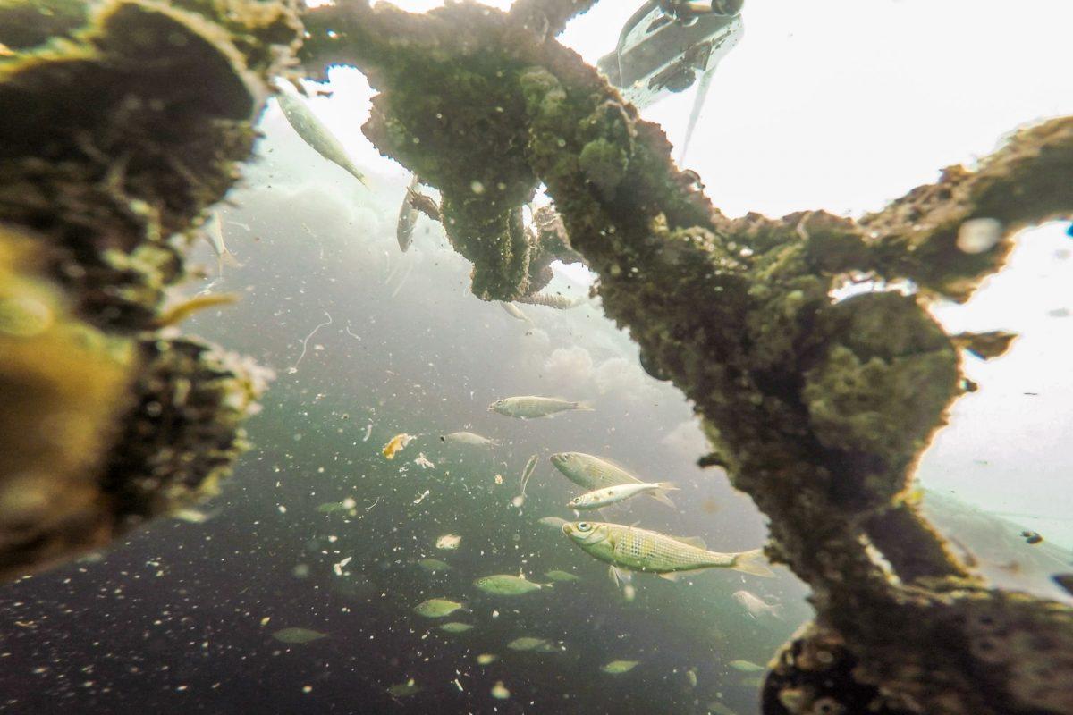 shiner perch underwater