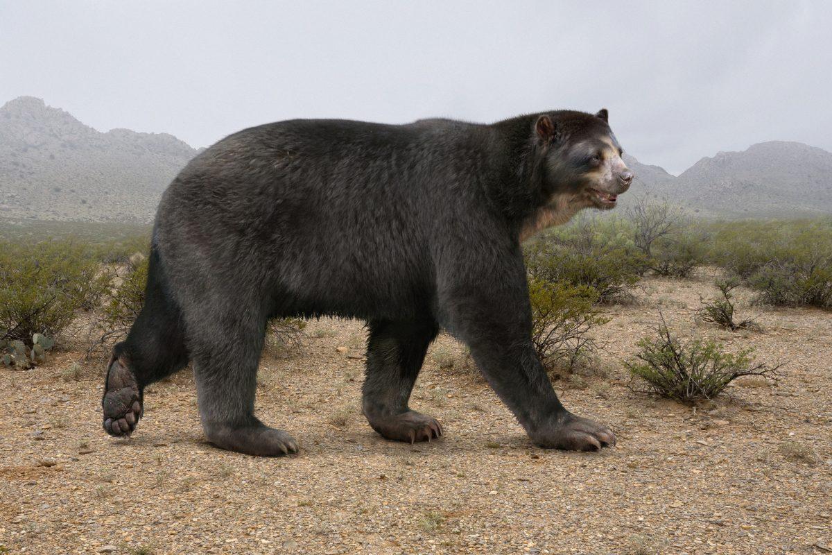 illustration of short-faced bear