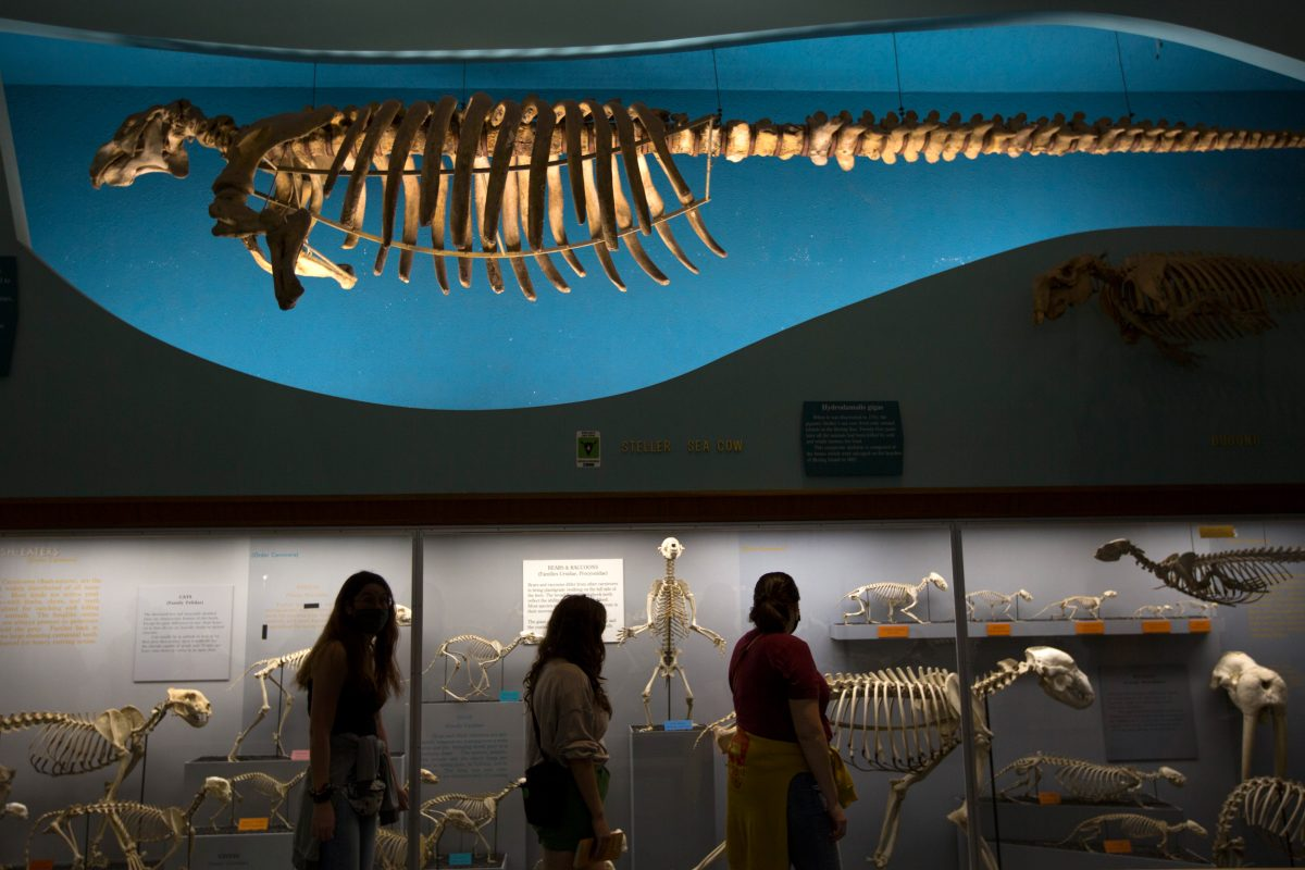 Steller's sea cow skeleton at the American Museum of Natural History
