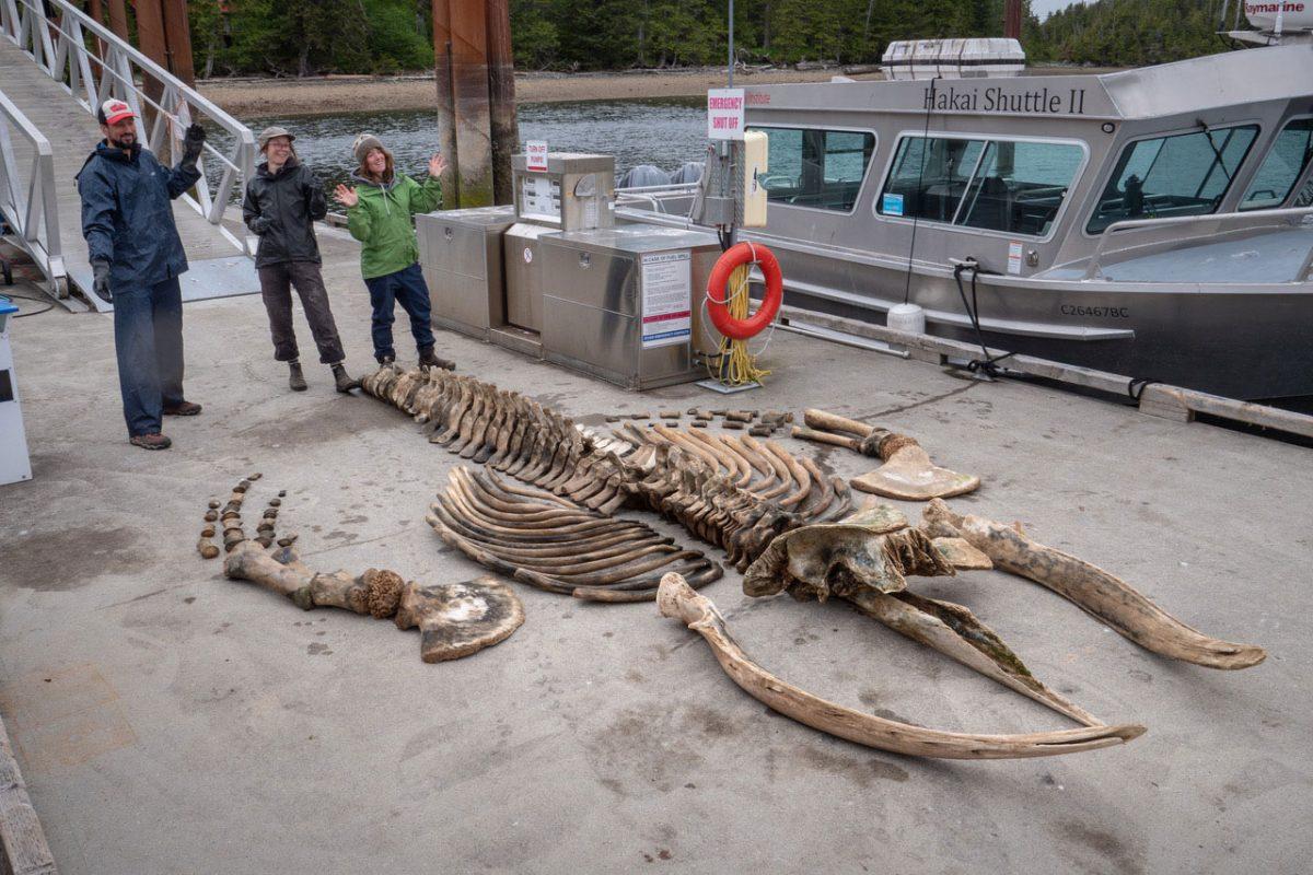 full humpback skeleton