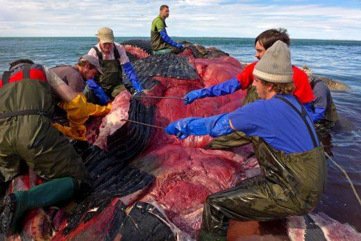 slabs 1 whale defleshing 520x347 - 【くじら】鎌倉市に漂着した死骸はシロナガスクジラと判明。国内の海岸に打ち上げられたのは全国初