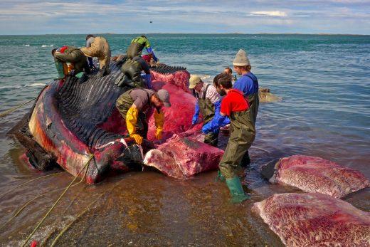 slabs 2 whale defleshing 520x347 - 【くじら】鎌倉市に漂着した死骸はシロナガスクジラと判明。国内の海岸に打ち上げられたのは全国初