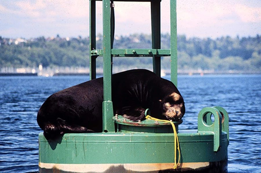 Herschel the sea lion in Shilsole Bay circa 1984