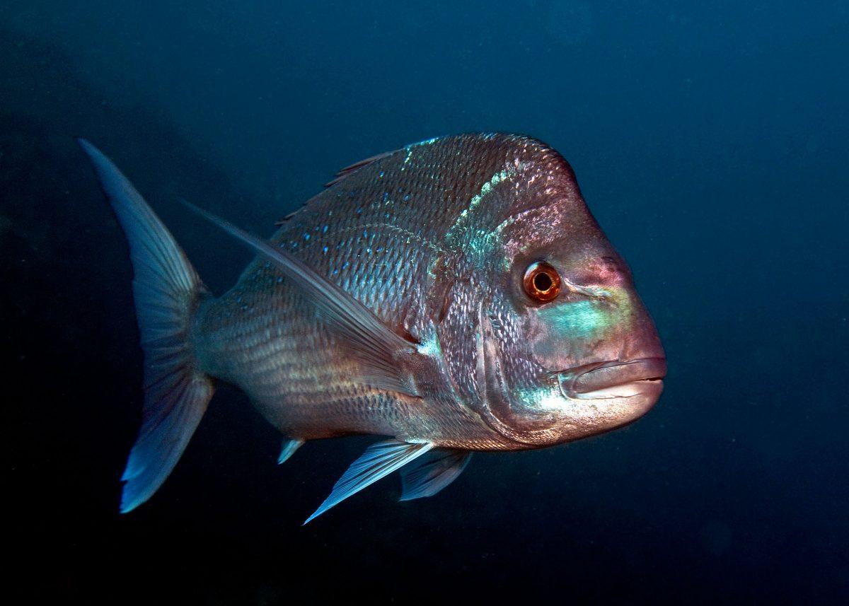 snapper underwater