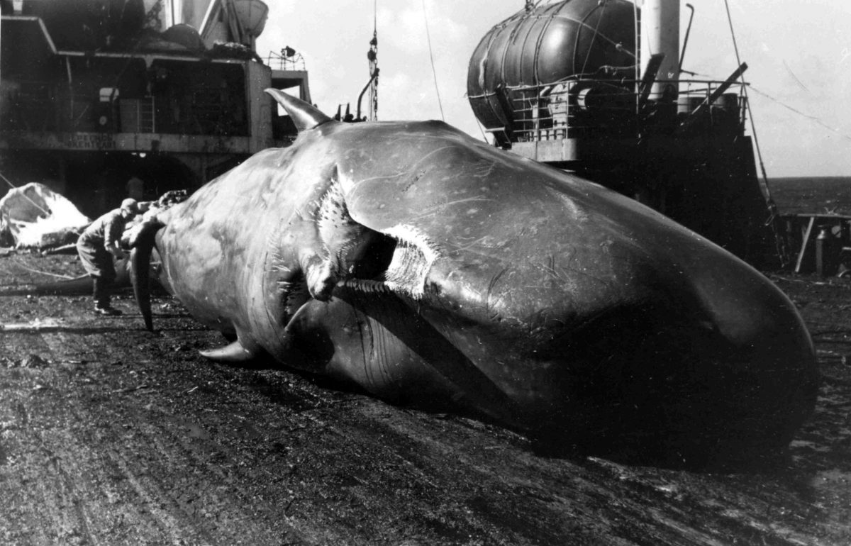 Dead sperm whale on the deck of a Soviet whaling ship