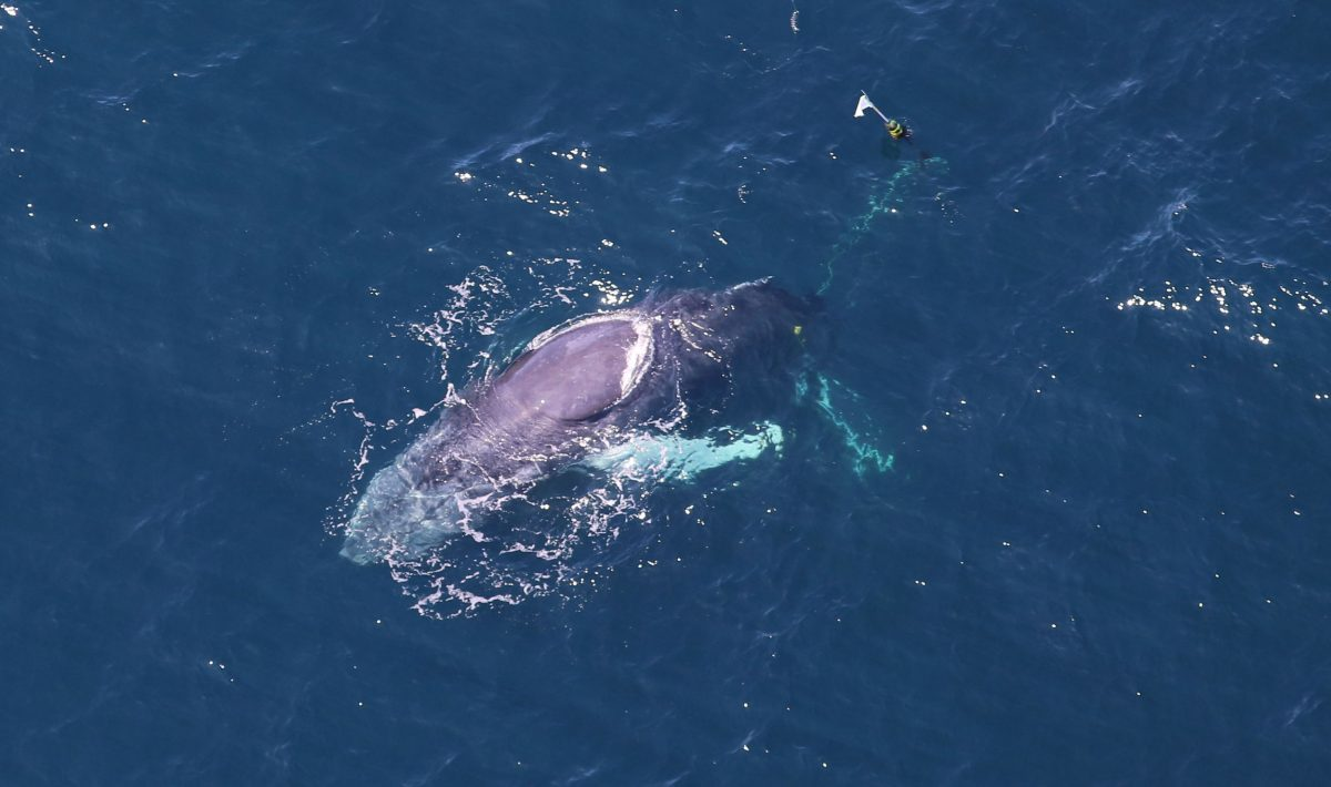 entangled humpback whale named Spinnaker