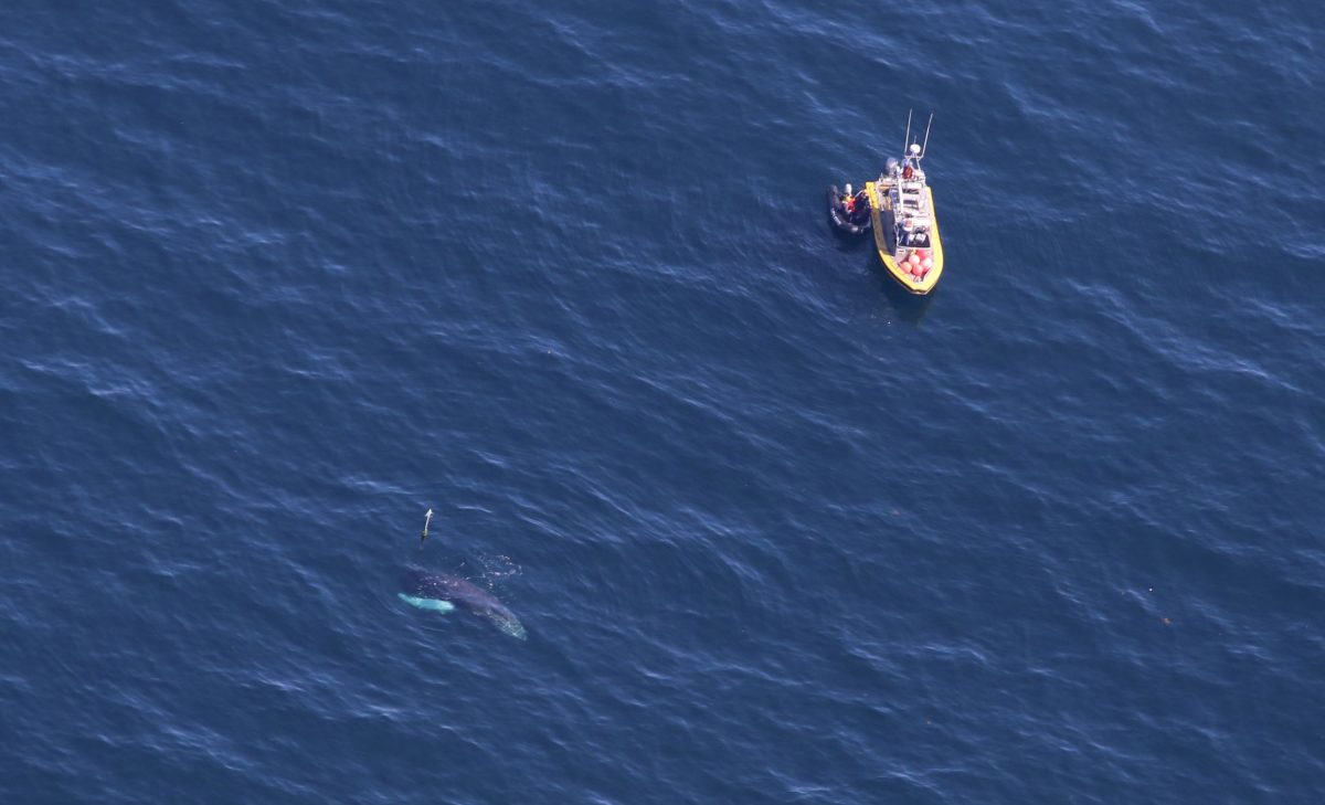 aerial photo of an entangled humpback whale named Spinnaker