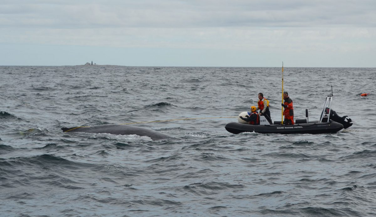 Maine Marine Patrol works to disentangle a humpback whale named Spinnaker
