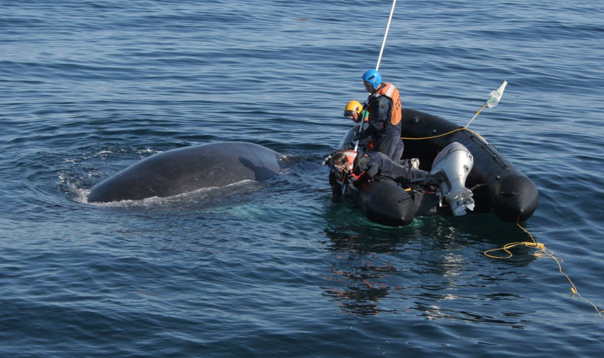 A team from the CSS works to free the humpback named Spinnaker in May 2015