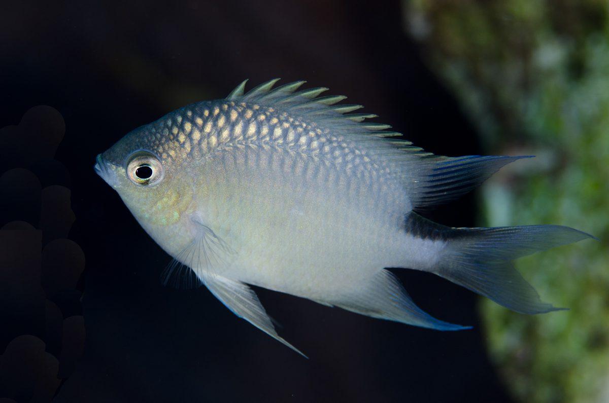 Spiny chromis damselfish (Acanthochromis polyacanthus)