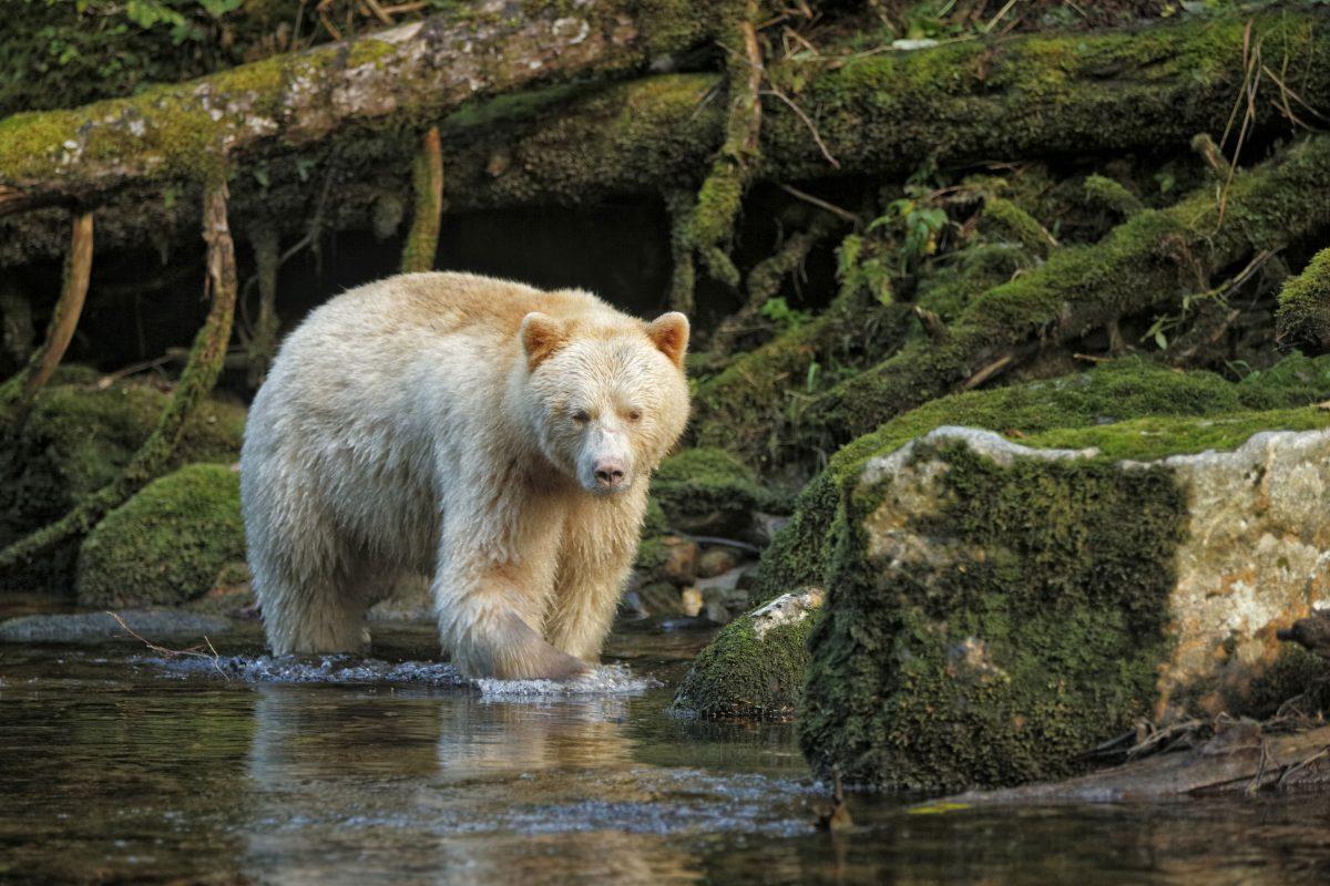American Black Bear (Ursus americanus kermodei) 'Spirit Bear'
