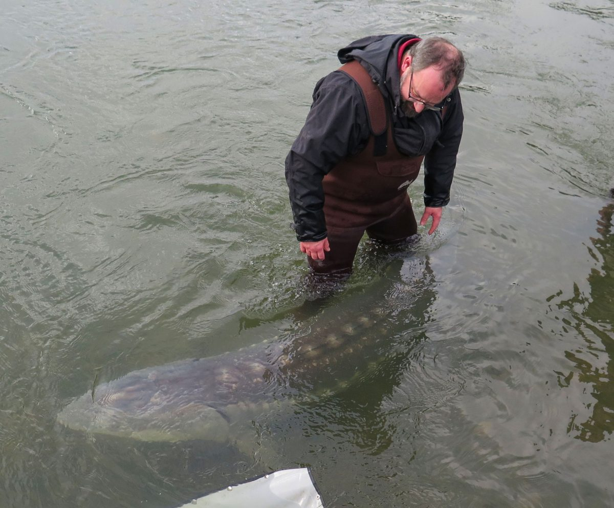 fisheries biologist Erin Stoddard with a white sturgeon