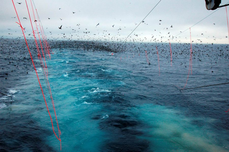Birds interpret streamer lines as a barrier separating them from the baited hooks below. Photo by Ed Melvin/Washington Sea Grant