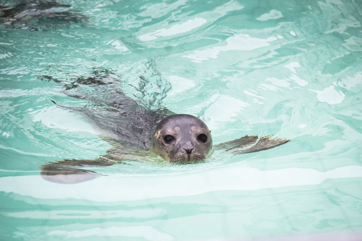A harbor seal swimming in a pool at Sealcentre Pieterburen