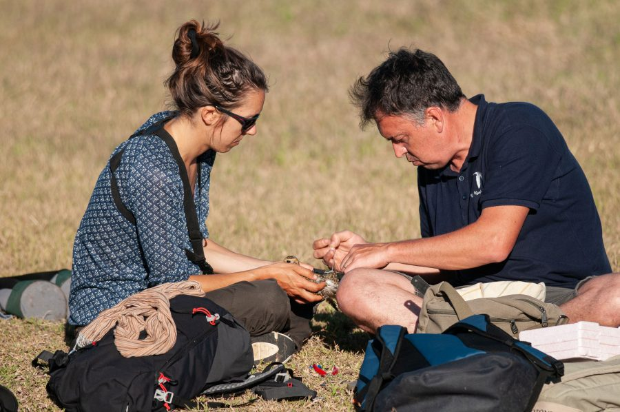 Two researchers tagging birds