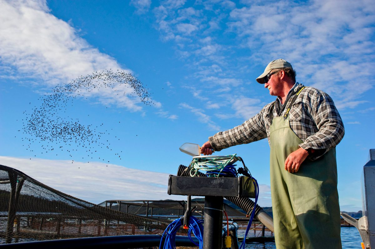 A worker throws feed pellets into a fish farm pen