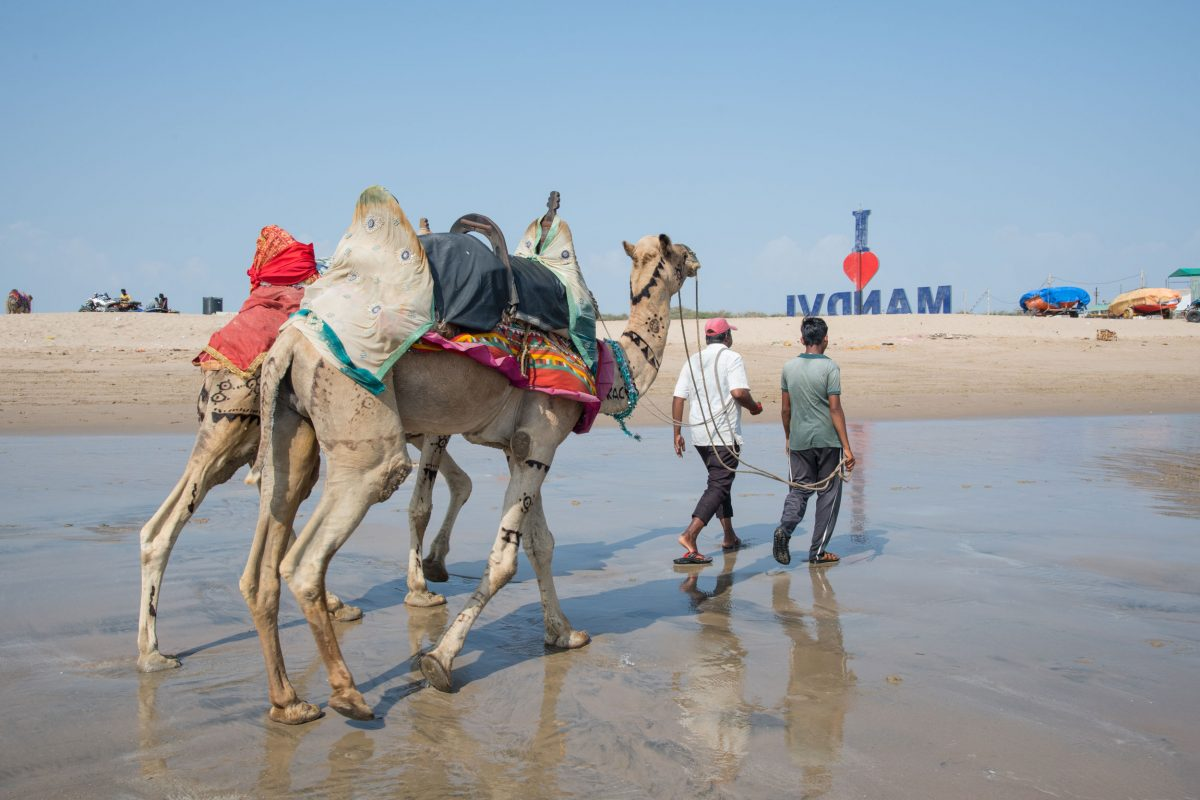 Wildlife Conservation Jobs - camels for tourists to ride in Mandvi, India