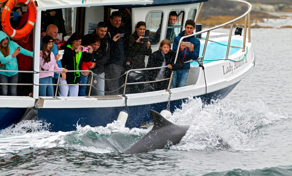 boat full of tourists take photos of Fungie the dolphin