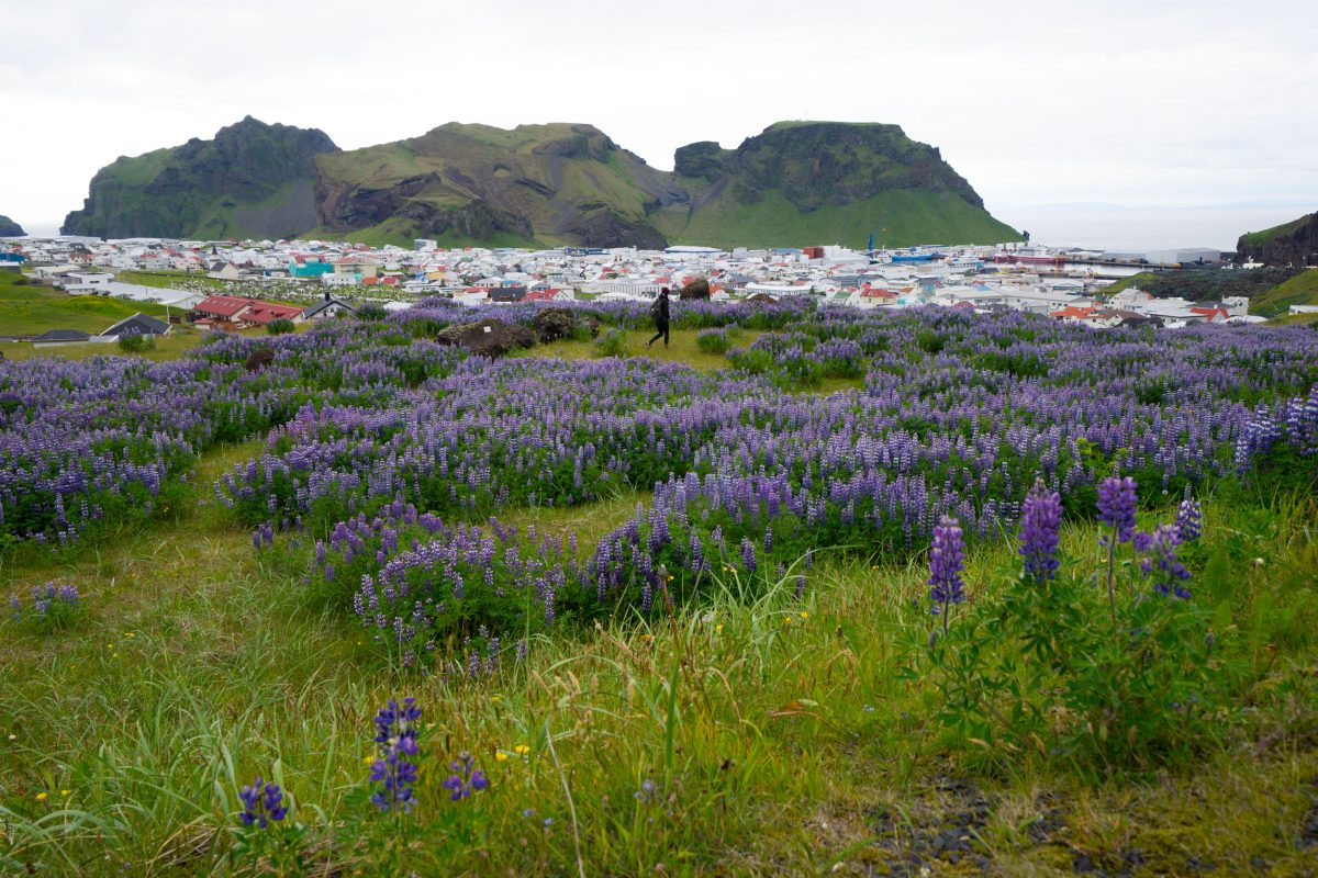 a field of lupine over a town in Iceland