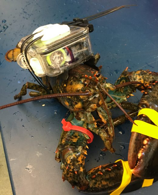 lobster with prototype C-HAT unit