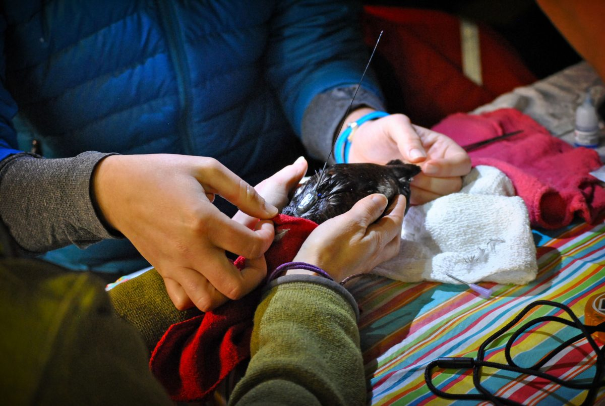 Aboard the RV Pacific Storm, two research assistants cradle a marbled murrelet that has just had a VHF tag sutured to its back. After they determine that the tag is snug, the bird will be released. Photo by Eric Wagner