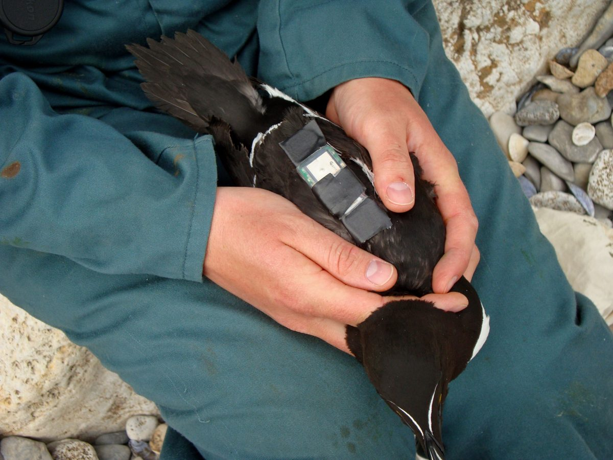 GPS tracker on a razorbill's back