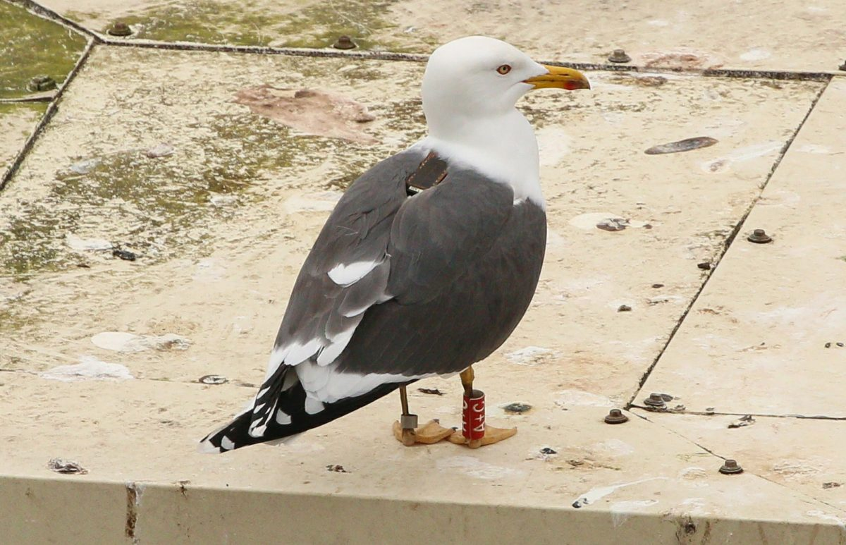 gull with GPS tracker and leg tags