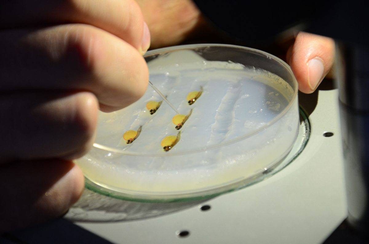 A researcher from the Hungarian University of Agriculture and Life Sciences transplants rainbow trout germ cells into tiger trout larvae, which have been anesthetized and laid on their sides in a petri dish