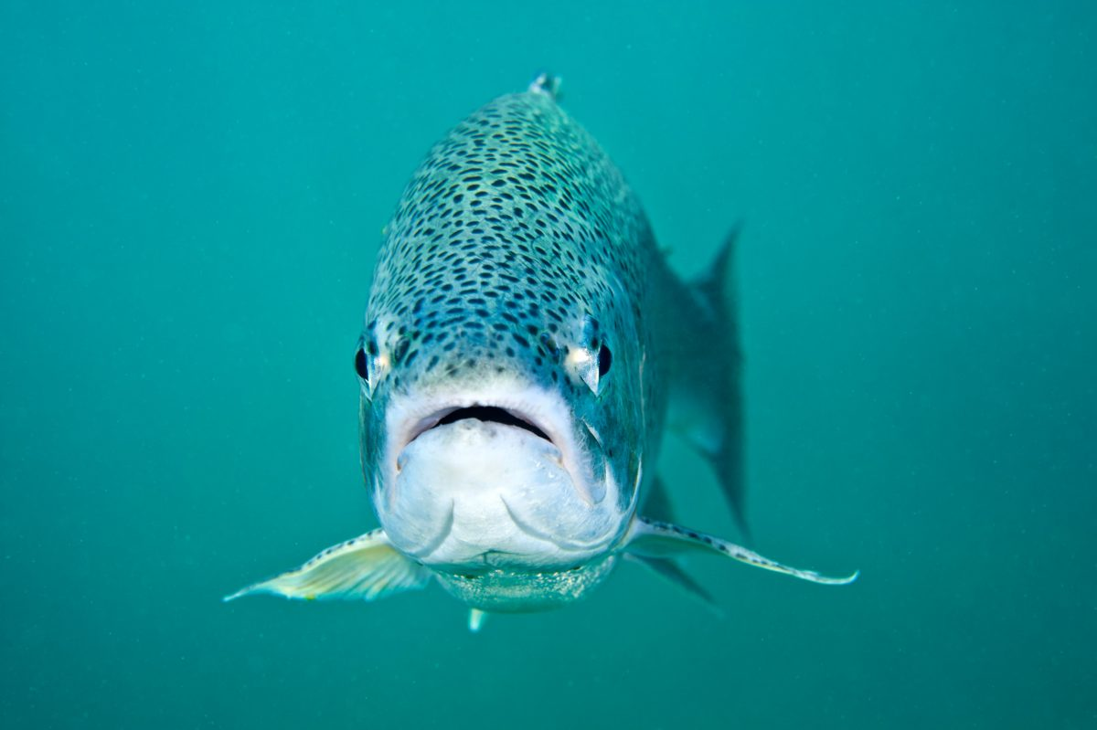 a rainbow trout