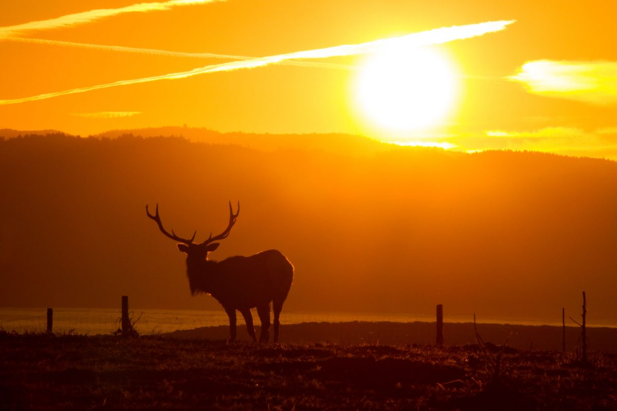 tule elk in California's Point Reyes National Seashore