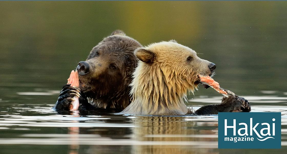 1,000 Kilometers from the Coast, Bears Gorge on Ocean Fish | Hakai Magazine