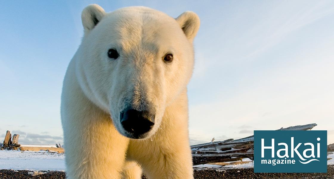Polar Bears and People: Cataloging Conflict | Hakai Magazine