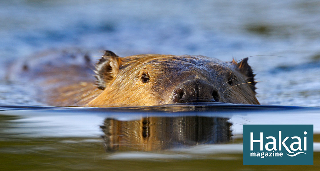 The Gnawing Question of Saltwater Beavers | Hakai Magazine