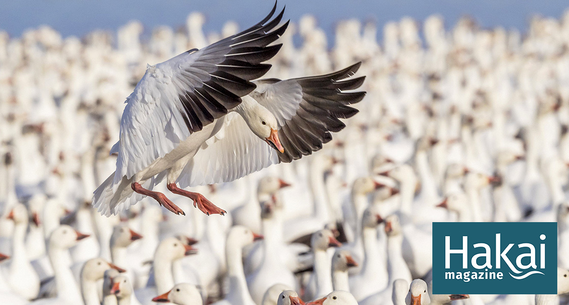 Lack of Snow Is, Ironically, Helping Snow Geese | Hakai Magazine