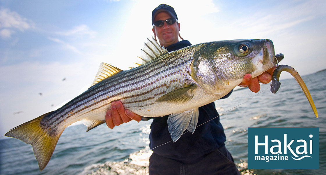 Deciding the Future of Massachusetts's Striped Bass | Hakai Magazine